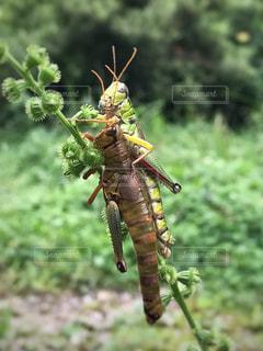 枝の昆虫の写真・画像素材[721736]