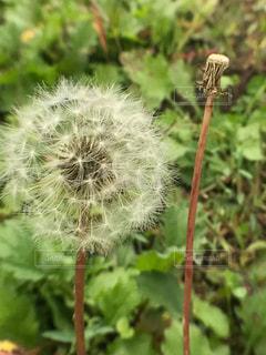タンポポの綿毛♪の写真・画像素材[785619]