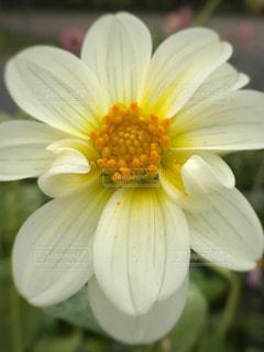 ダリアの花 - No.785629