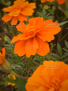 近くの花のアップの写真・画像素材[785638]