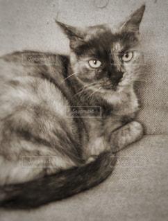 カメラ目線の猫の写真・画像素材[808172]