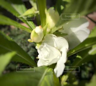 白いホウセンカの写真・画像素材[808702]