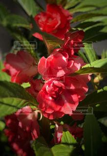 赤いホウセンカの写真・画像素材[808784]