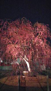 霞城公園のしだれ桜。の写真・画像素材[810719]