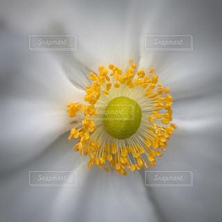 秋明菊の花のアップ - No.811567