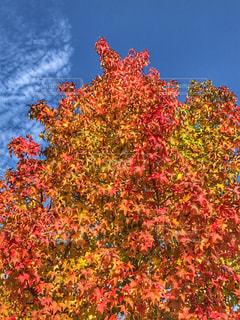 鮮やかに紅葉した樹木の写真・画像素材[825997]