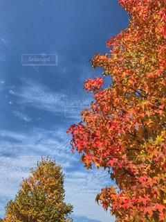 秋晴れと紅葉した樹木たち。 - No.826003