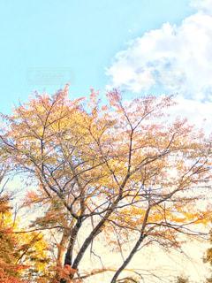 山桜の紅葉の写真・画像素材[845189]