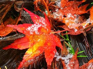 落ち葉と初雪と。の写真・画像素材[871510]