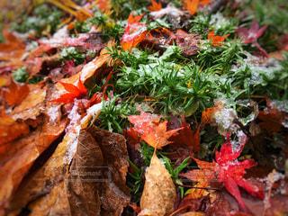 初雪と枯葉の絨毯の写真・画像素材[871530]