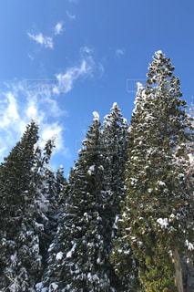 雪に覆われた杉木立 - No.983612