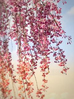 枝垂れ桜…艷やかに。の写真・画像素材[1132248]