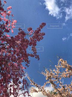 桜と空と。の写真・画像素材[1132272]