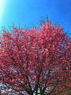 ピンクの花の木の写真・画像素材[1140256]