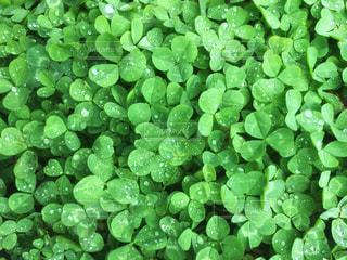 クローバーの絨毯の写真・画像素材[1146206]