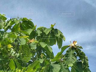 大きな葉っぱと白い花 - No.1195022