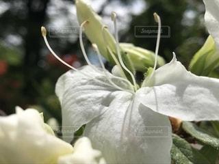 白ツツジの花 - No.1195064