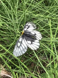 白黒の蝶々。の写真・画像素材[1212227]