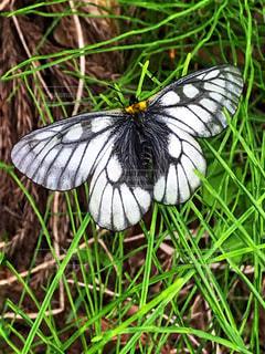 白黒の蝶々。の写真・画像素材[1212228]