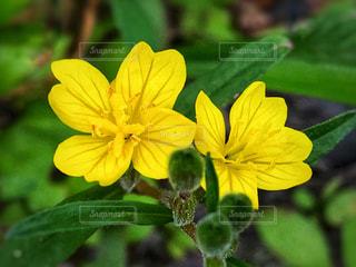 黄色の小花の写真・画像素材[1214563]