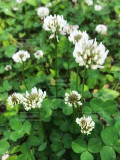 シロツメクサの花の写真・画像素材[1214567]