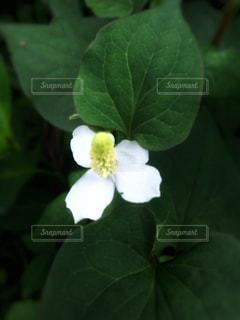 ドクダミの花の写真・画像素材[1278770]