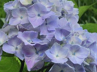 しっとりした紫陽花の花の写真・画像素材[1289647]