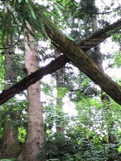 森の大きな木の写真・画像素材[1292726]