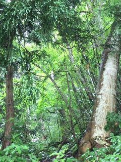 フォレスト内のツリーの写真・画像素材[1292729]
