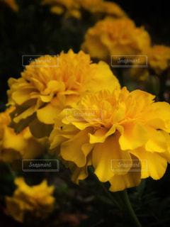黄色い花の写真・画像素材[1545367]