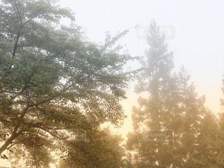 霧と樹木の写真・画像素材[1545391]