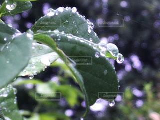 雨雫きらきらと。の写真・画像素材[1621717]
