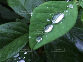 新緑と雨雫と。の写真・画像素材[1852771]