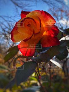 バラと空の写真・画像素材[2007725]