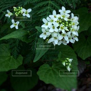 白い小花の写真・画像素材[2065512]