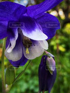 紫色の花のクローズアップの写真・画像素材[2130002]