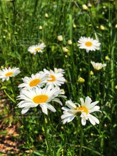 白い花たちの写真・画像素材[2159510]