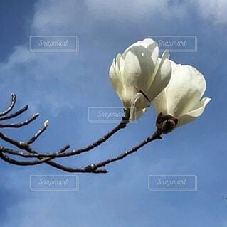 木蓮と薄曇りの春の空。の写真・画像素材[4319240]