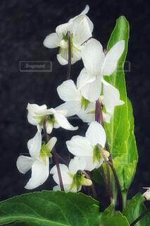 白いスミレの花の写真・画像素材[4350669]