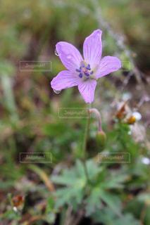 花の写真・画像素材[677962]