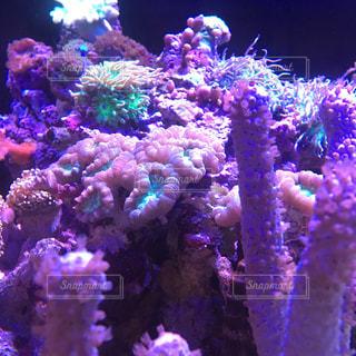 サンゴの写真・画像素材[801118]