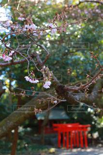 寒桜と鳥居の写真・画像素材[982669]