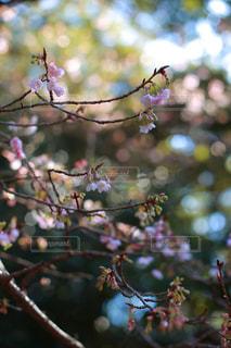 おかげ横丁雪と寒桜の写真・画像素材[982680]