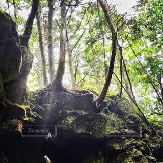 山梨県樹海森林浴 美しい光の線の写真・画像素材[2317895]