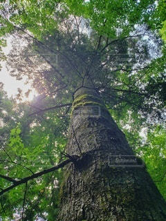 森の中の大きな木の写真・画像素材[2317919]