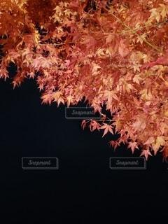 夜の紅葉狩りの写真・画像素材[3893192]