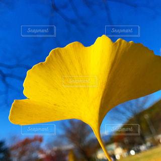 イチョウの葉の写真・画像素材[1050410]