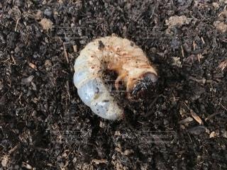カブトムシの幼虫の写真・画像素材[1515877]