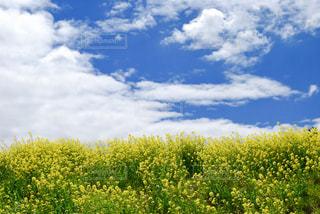青空と菜の花畑の写真・画像素材[1671538]