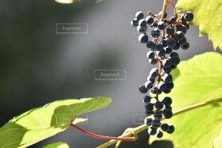 野葡萄の写真・画像素材[2698436]